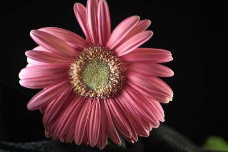 A pink Gerbera daisy flower. Stok Fotoğraf