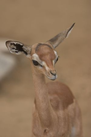 gazelle #1
