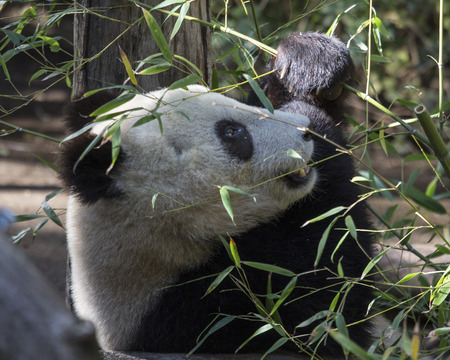 cachorro: Giant Panda Bear Cub comiendo brotes de bamb� Foto de archivo