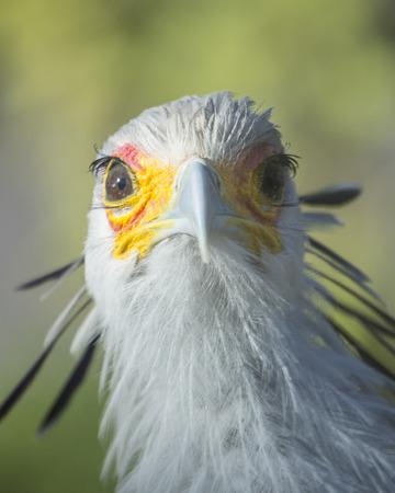 diurnal: Secretary Bird Front View Stock Photo