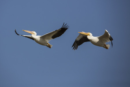 Two pelicans flying through the air