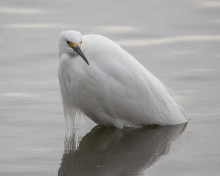 Young egret standing in water
