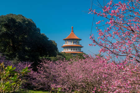 Fleur de cerisier de Sakura au temple de Tianyuan, Taipei, Taiwan Banque d'images