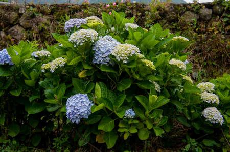 Beautiful blue and purple Flowers (Hydrangea macrophylla) or Hortensia flower is blooming. Stock fotó
