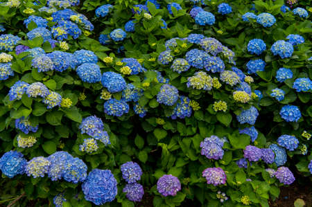 Beautiful blue and purple Flowers (Hydrangea macrophylla) or Hortensia flower is blooming. Stock Photo