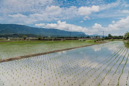 Reflection of paddy fields, mirror of the sky, Landscape View Of Beautiful Rice Fields At Brown Avenue, Chishang, Taitung, Taiwan