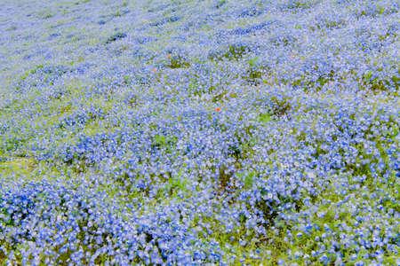 Nemophila menziesii (baby blue-eyed flower), Nemophila flower field