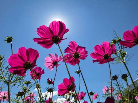 Cosmos field in full bloom, Pink cosmos in backlight Zdjęcie Seryjne