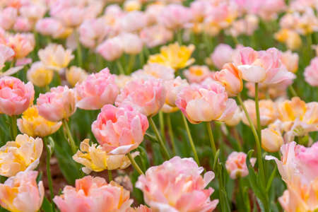 Various beautiful tulips are blooming in the garden Stock Photo