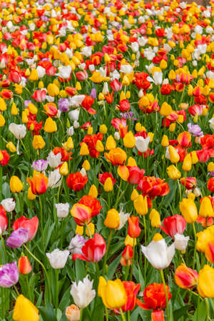 Various beautiful tulips are blooming in the garden
