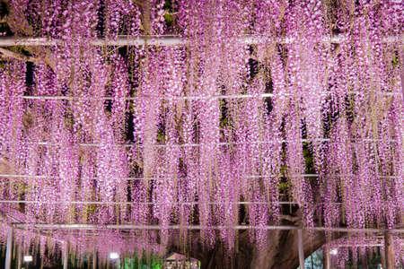 Beautiful view of Great purple pink wisteria blossom tree at night , Ashikaga, Tochigi,  Japan Zdjęcie Seryjne