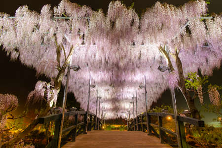 Beautiful view of  White Japanese Wisteria blossom tree at night , Ashikaga, Tochigi,  Japan