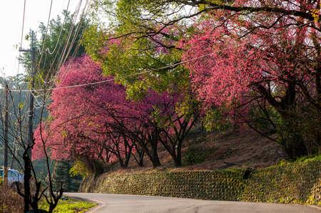 A row of blooming cherry trees along the winding mountain road, Maokong Taipei, Taiwan. (cherry blossoms season) Archivio Fotografico