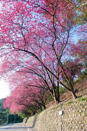 A row of blooming cherry trees along the winding mountain road, Maokong Taipei, Taiwan.