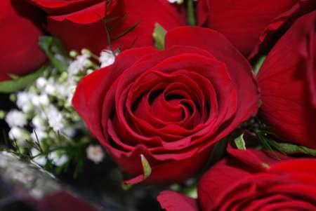 Rose rouge avec bébé souffle Banque d'images - 4540638