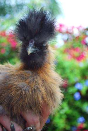 bad hair day: young silkie rooster bad hair day Stock Photo
