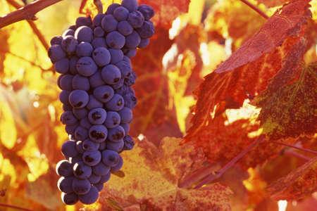 grapes ripen in the Napa Valley, California photo