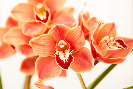 cymbidium orchid also known as  Muskateer