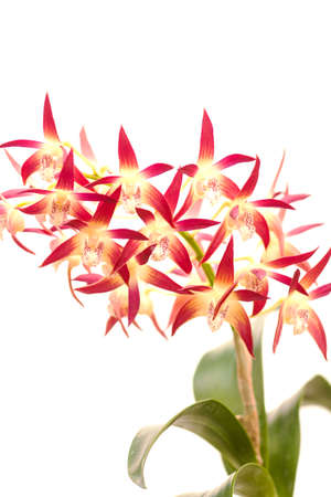dendrobium orchid also known as  Scarlet Edge  Imagens