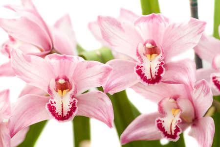 cymbidium orchid also known as  Angela