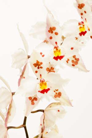 セリ科植物オドントグロッサム