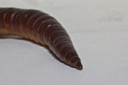 baited: Closeup of earth worm
