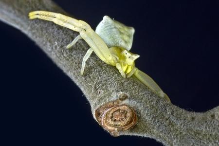 crabspider: Crab spider  Diaera dorsata Stock Photo