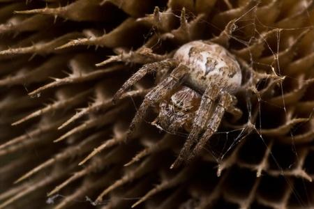 araneidae: Spider Araneus Marmoreus