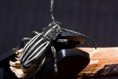 longhorn beetle: Weaver beetle  Lamia textor