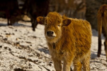 mountainous: Mountainous calf