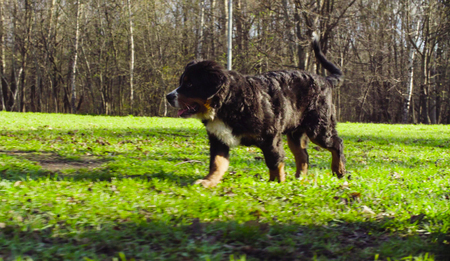 Bernese shepherd dog puppy on a grass in a park