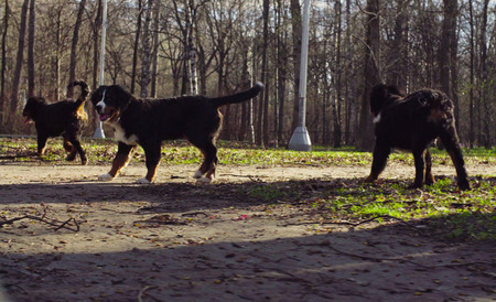 Bernese shepherd dog puppies in a park