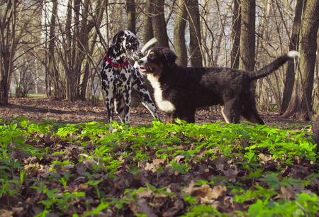 Bernese shepherd dog puppy playing in a park