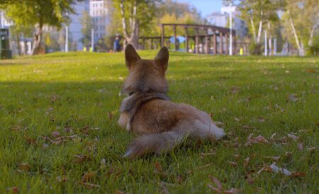 Young corgi dog playing on the lawn in the park. Beautiful sunny day 版權商用圖片