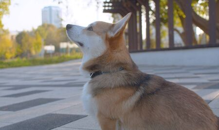 Close up nice corgi dog sitting on the road. City park, summer day. 版權商用圖片