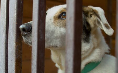 Close up sad face of a clever white dog in animal shelter looking through the fence 版權商用圖片