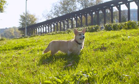 Beautiful corgi dog standing on a grass and looking around 版權商用圖片