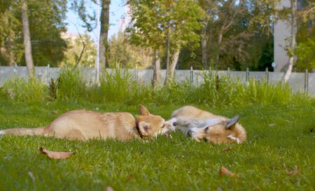 Two corgi dogs playing on a grass in the park 版權商用圖片