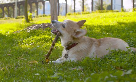 A dog - corgi nibbles a stick on a grass in the park. Summer, sunny day