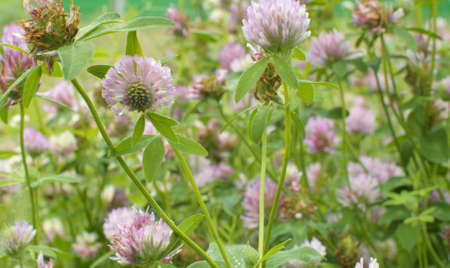 Close up of clovers flower at summer day on the meadow. Natural background