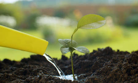 Close up male hands watering small lemon tree. Agriculture, gardening or ecology concept 写真素材