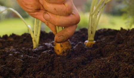 Close up farmers hands pulling out carrot from the ground. Agriculture, gardening or ecology concept