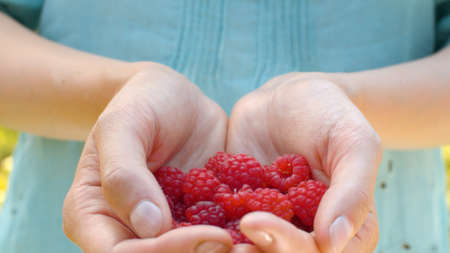 Close up ripe raspberries in female hands. Agriculture, gardening or ecology. Healthy fresh food concept