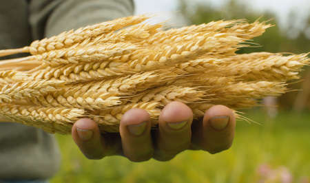 Farmer with a sheaf of rye in his hands. Close up male hands and ripe raw cereals oudoors