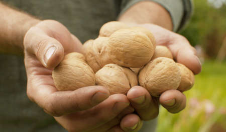 Walnuts in farmers hands close up. Product rich in minerals and vitamins 写真素材