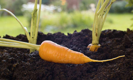 Close up carrot growing in the garden. Agriculture, gardening or ecology concept