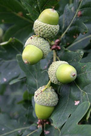 acorns photo