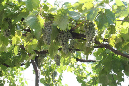 A grapevine growing in Thessaloniki, Greece. Stock Photo