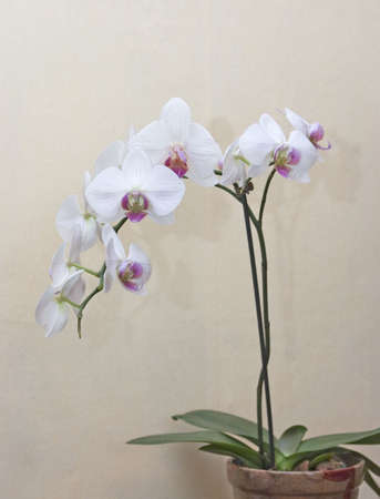 orchid flower: White orchid
