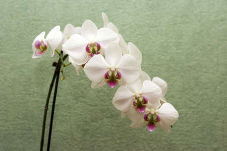 boughs: White orchid